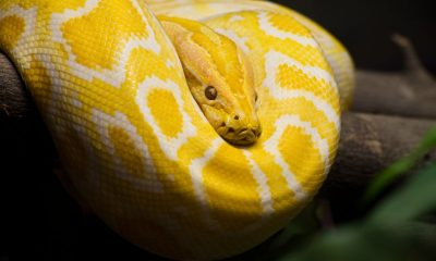 12 foot python found after escaping