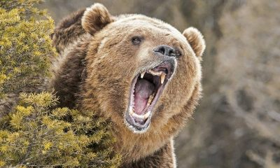 a camper's montana grizzly encounter